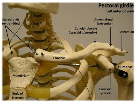 Bones of the pectoral girdle, anterior view with labels