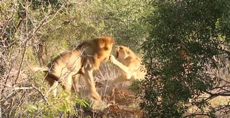 Video: When lions attack lions - Africa Geographic