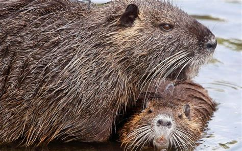 Coypu: They're cute and furry, but Italy declares war on